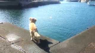 ゴールデンレトリバー海に飛び込む