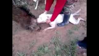 getlinkyoutube.com-هل شاهدت صيد الخنزير البري من قبل وثائقي قصير من الجزائر لاصطياد الخنزير