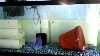 getlinkyoutube.com-Tilapia - Breeder Tank Setup