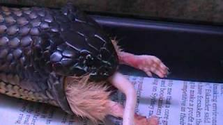 getlinkyoutube.com-Tiger Snake eats a mouse