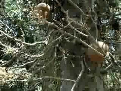 Abricó de Macaco