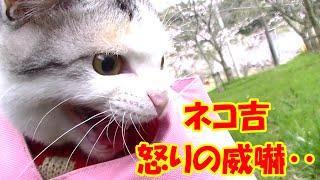 getlinkyoutube.com-ドラ吉にスリスリした野良猫にネコ吉怒りの威嚇! Intimidation of cat