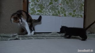 getlinkyoutube.com-2014 11 1 ミケを母猫と勘違い?後を追う子猫クロ misunderstanding the mike and mother cat? Kuro to keep up with the Mike