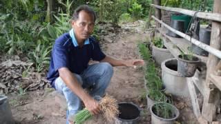getlinkyoutube.com-ผักปลูกง่าย - วิธีปลูกผักกุยช่ายในกระถาง ได้ทั้งผักปลอดสารพิษและพืชประดับ