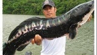 getlinkyoutube.com-ikan gabus besar