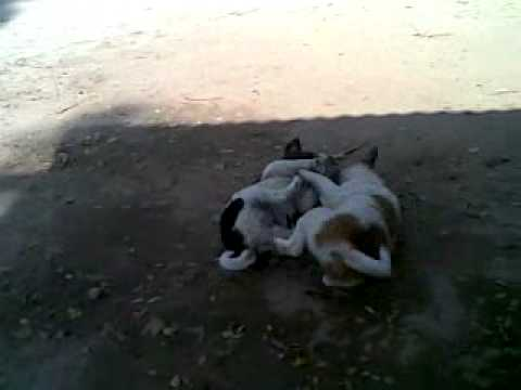 Dog Child Fight By Mymensingh