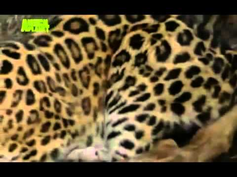 THE LAST LEOPARD (2008) part 2 of 5  critically endangered Amur Leopard