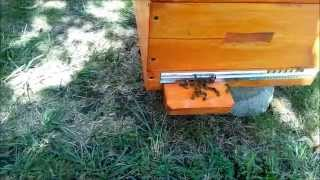 getlinkyoutube.com-Пчеловодство Слет пчел 29 августа Beekeeping Bee gathering on August 29