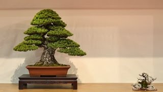 Bonsai exhibition at the Noelanders Trophy 2015
