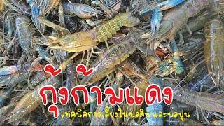 getlinkyoutube.com-กุ้งก้ามแดง วิธีเลี้ยงกุ้งในนาข้าว และบ่อปูน