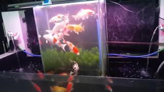 getlinkyoutube.com-Aquarium terbalik (fish tank open bottom)