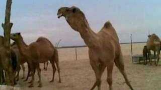 getlinkyoutube.com-طياح  فحل طلال بن عقاب العازمي