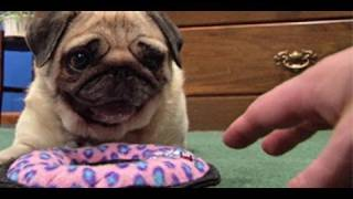 getlinkyoutube.com-DON'T TOUCH pugs new toy!