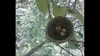 getlinkyoutube.com-Tổ chim Giẻ quạt bên dòng sông Tô lịch