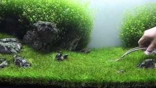 getlinkyoutube.com-Green&Grey Aquarium - Day 98 - sp. mini trimming