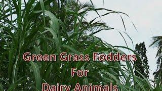 getlinkyoutube.com-Green Grasses for Dairy Animals