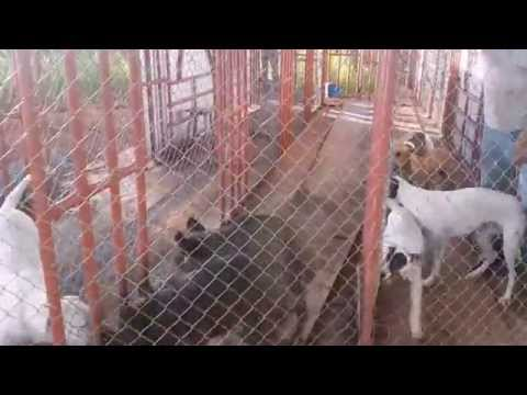 Escola de treinamento de cães para caça de Javali