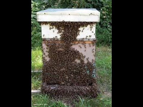My Bees ( honeybees ) Swarmed. What to do now.  Beekeeping short course
