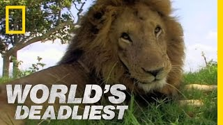 getlinkyoutube.com-Lion vs. Lion | World's Deadliest