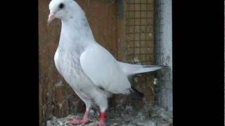 getlinkyoutube.com-Pakistani best Pigeon tippler dk sialkoti kabooter washi