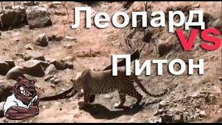 getlinkyoutube.com-Опасные животные. Дикие животные. Леопард нападает на питона
