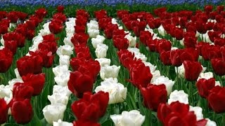getlinkyoutube.com-International flowers are giving frangrance in Punjab farmers houses