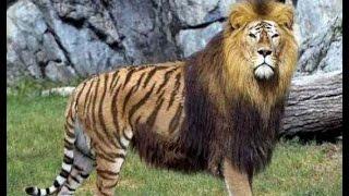 getlinkyoutube.com-Top 7 Amazing and Rare Animal Hybrids