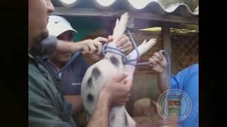 getlinkyoutube.com-video de zootecnia.wmv