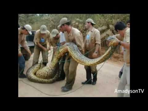 THE BIGGEST SNAKE IN THE WORLD -so1N7hF55LU