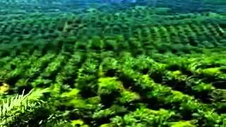 getlinkyoutube.com-Global Industry Ventures  Malaysia  Palm Oil clip2