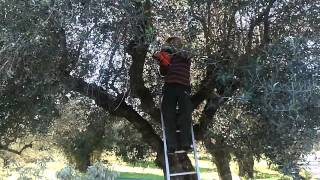 getlinkyoutube.com-Harvesting the olives in Achaia