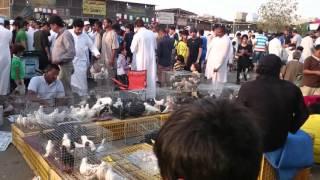 getlinkyoutube.com-حمام باکستانی Pakistani Pigeons Boota Farooq  khadriala