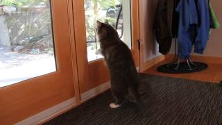 getlinkyoutube.com-Cat wants to go outside