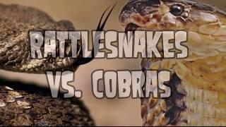 getlinkyoutube.com-Cobra vs Rattlesnake!