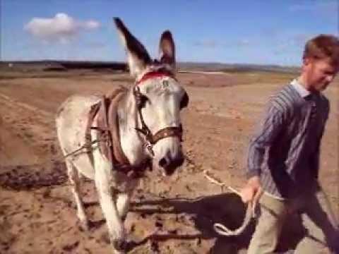 Arando y Gradeando con Burro Asno Jumento donkey en añora.wmv
