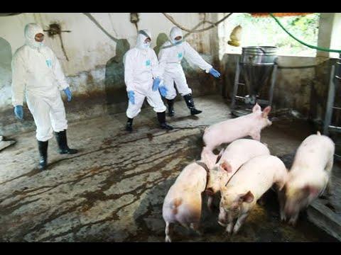 Bản tin cuối tuần số 5: Xử lý nghiêm hành vi che giấu, trục lợi từ dịch tả lợn Châu Phi
