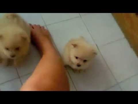 CUTEST pomeranian puppies