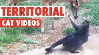 getlinkyoutube.com-Territorial Cat Videos || Funny Pet Compilation