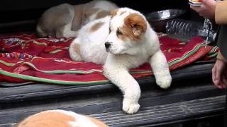getlinkyoutube.com-КАКИМИ  ДОЛЖНЫ БЫТЬ ЩЕНКИ АЛАБАЯ.The biggest dog. Odessa.