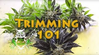 getlinkyoutube.com-Trimming Cannabis | How to Trim Marijuana | Wet trimming | Harvesting Weed