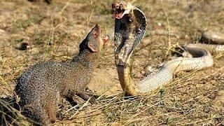 getlinkyoutube.com-King Cobra vs Mongoose Fight, Mongoose Killing deadly King Cobra