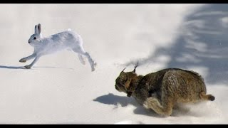 getlinkyoutube.com-Epic Hunting Chase of the Canadian Lynx and Snowshoe Hare in HD