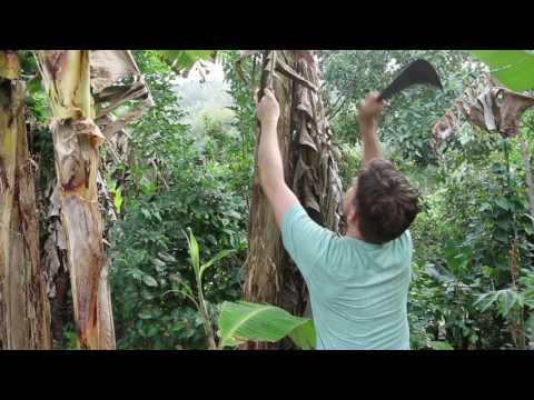 Maintaining a Banana Grove