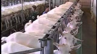 getlinkyoutube.com-How dairy goats are milked