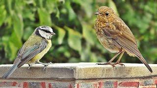 Videos for Cats to Watch - Summer Garden Birds and Birdsong