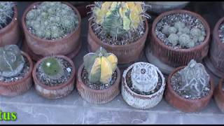 getlinkyoutube.com-Astrophytum Cactus
