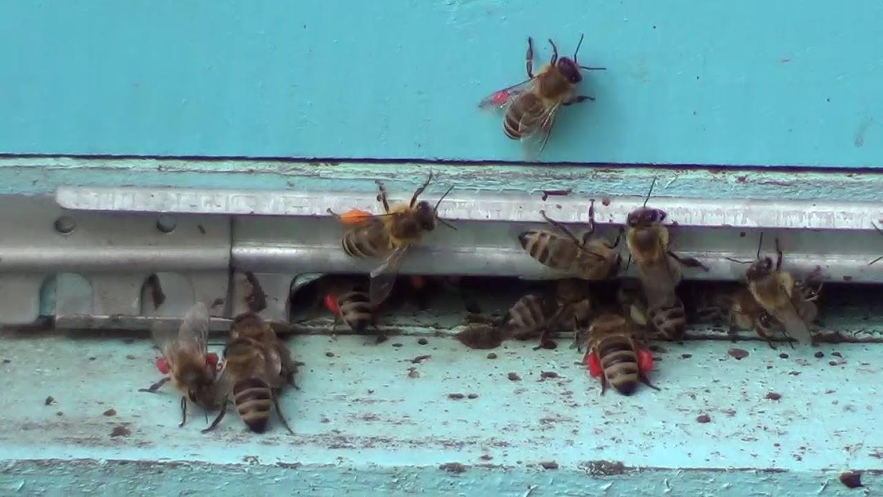 Kako pčele skupljaju polen i prave od njega pergu - Pčelinji hleb