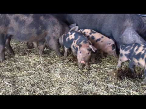 Pigs making compost, broiler pens rolling, fika in the fields and building for 1000 years