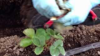 getlinkyoutube.com-イチゴの手入れ 定植後、旧葉取り