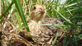 Raising Quail Organically for eggs. Comment élever les cailles bio.Cómo criar codornices orgánicas